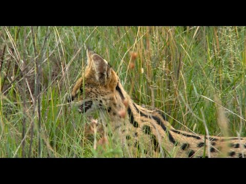 Spotted: Serval with kitten - January 20th 2016