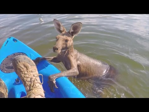 Kangaroo Props Paws Onto Rescue Kayak After Struggling in the Water