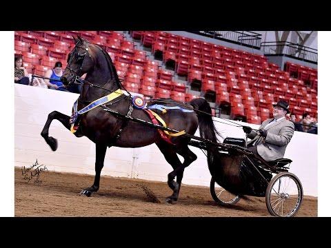 WC Bellerophon - Morgan Stallion Standing at Memory Lane Farm
