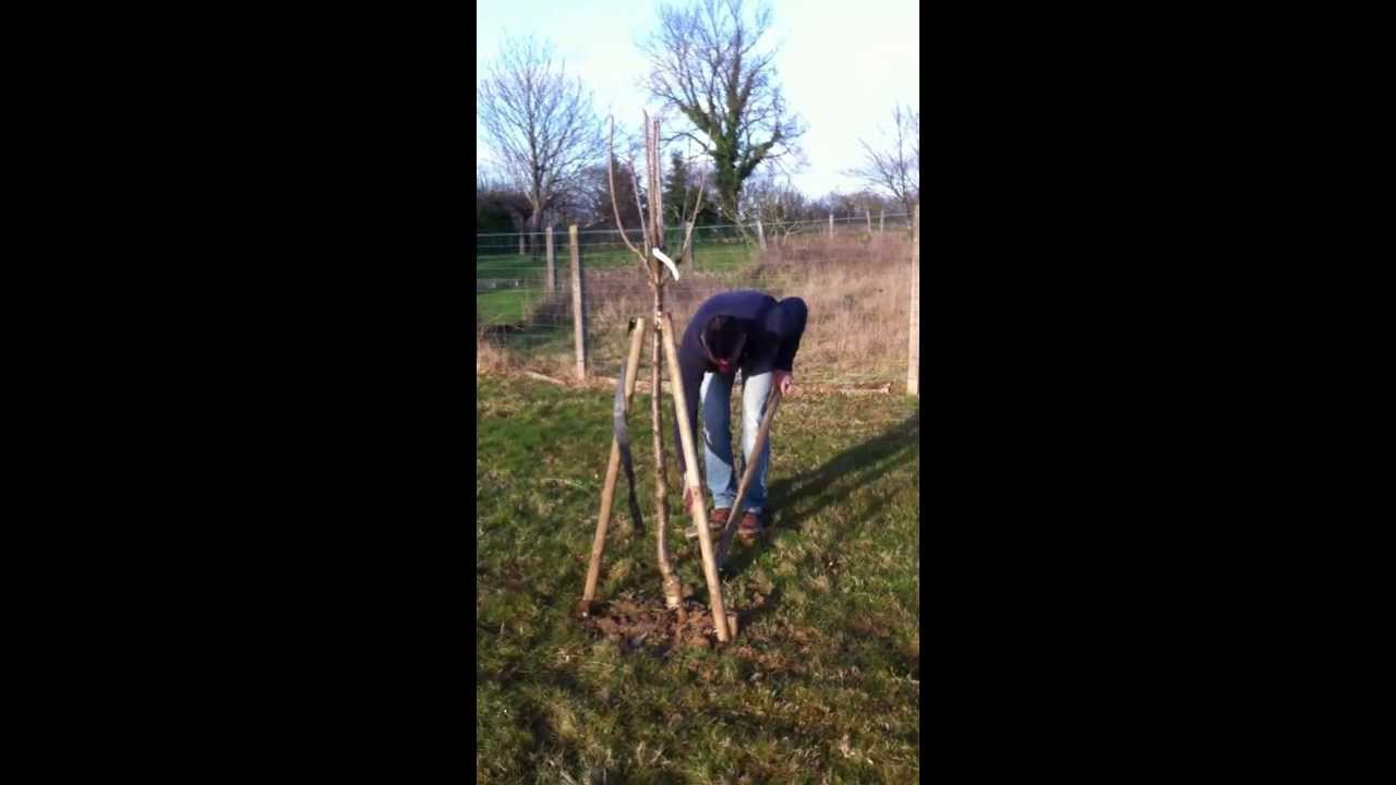 Plantation et tuteurage d un arbre fruitier racine nu haubannage youtube - Racine d un palmier ...