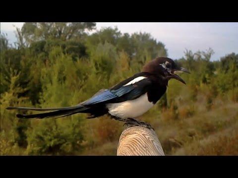 Richiamo Gazza - Eurasian magpie (Pica pica) 130, fototrappolaggio a Corte Franca