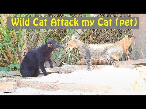wild cat attack my home cat (pet) - Cats fighting, cat attack cat (01)