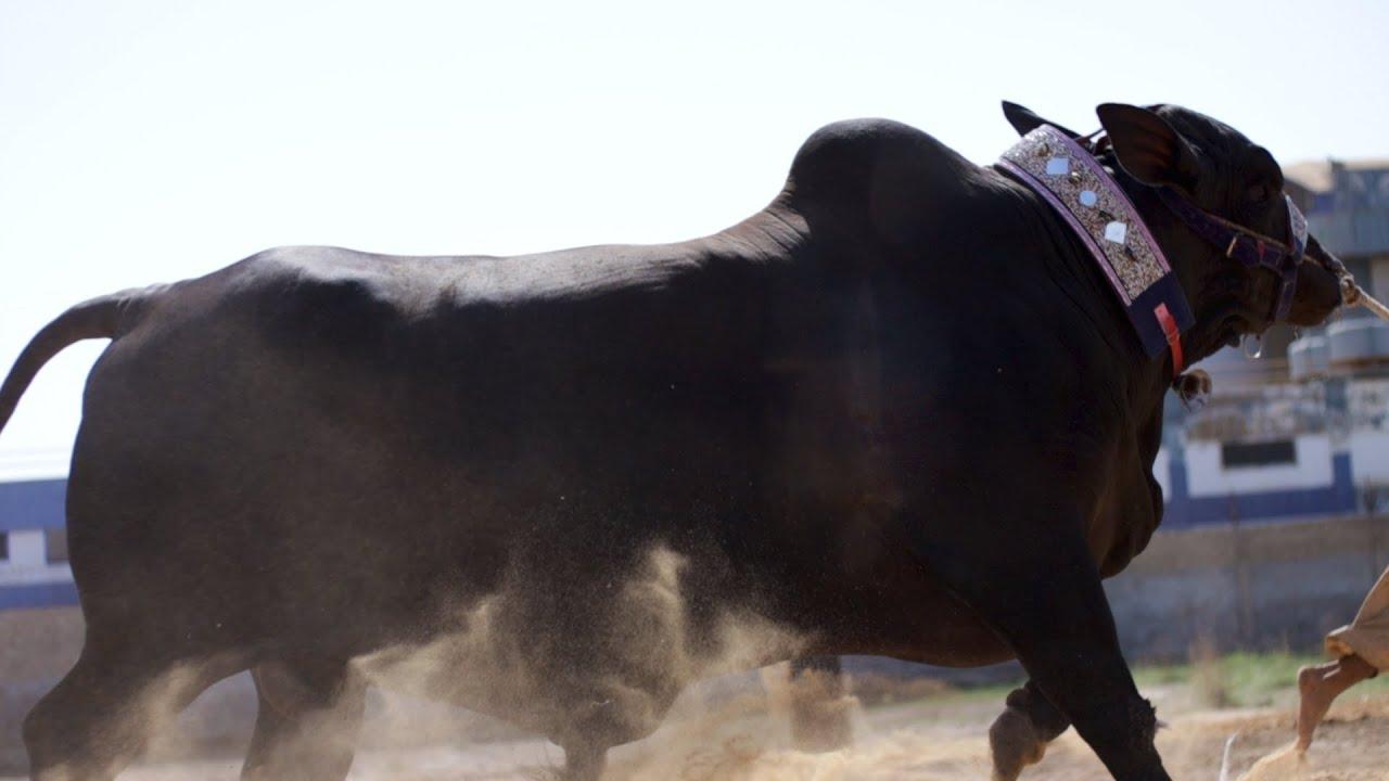 GIANT Black Beauty from Puri Cattle Farm   Contact: 0321-9254875    Bakra Eid 2021