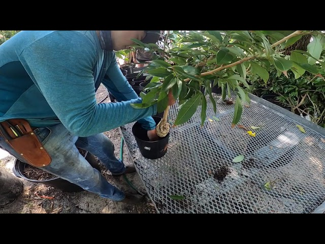 Lychee Tree Propagation July 13th, 2020 Nick's Island Tropical Fruit