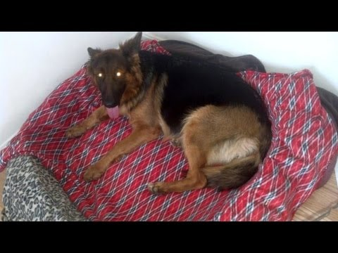Beautiful German Shepherd Having Puppies Youtube