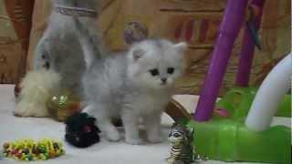 Британские котята шиншиллы на british-chinchilla.dp.ua