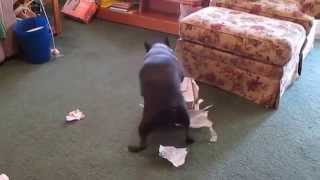 My Boston Terrier, Lucas, trying to open his Christmas present.