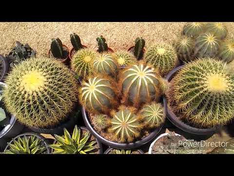 Pameran Kaktus Di Jakarta