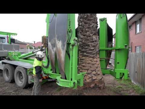 Arborco Palm Tree Transplanting