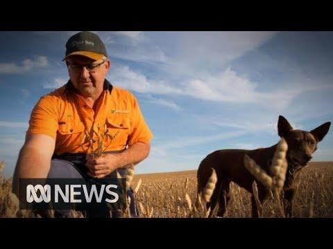 Grain farmers harvest crops despite the drought | ABC News