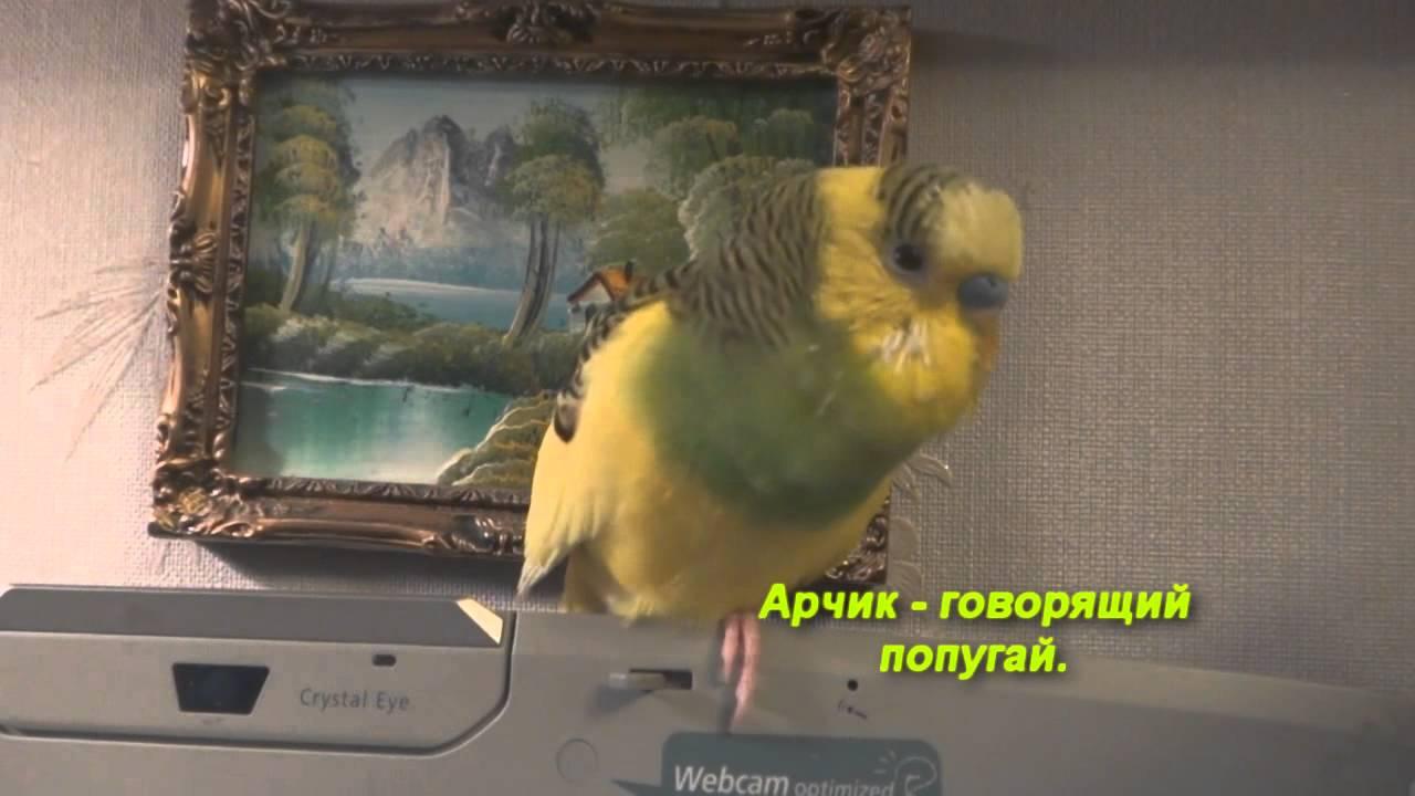 Арчик - говорящий попугай
