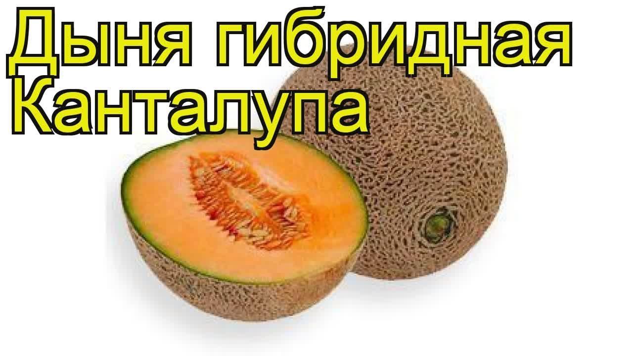Дыня Канталупа (Мускусная): что это за фрукт, польза, выращивание   720x1280