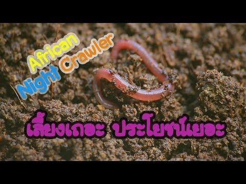 เลี้ยงเถอะ..ประโยชน์เยอะ  | African Night Crawler | ไส้เดือน AF
