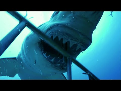 These Shark Cage-Divers Never Saw This Coming! Get A Sneak Peek At Shark Week 2017!