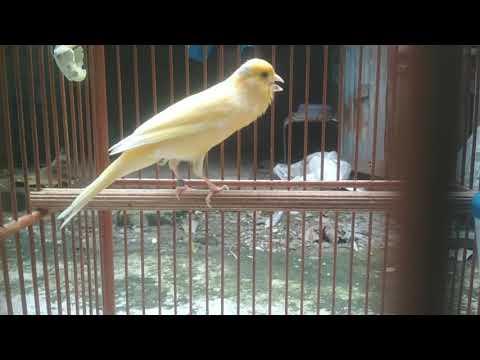 Download Lagu Kicau keras burung kenari ngotot,ngerol,nembak dan nagen cocok buat pancingan kenari mau bunyi