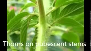 Cleome hasslerana - Spider Flower
