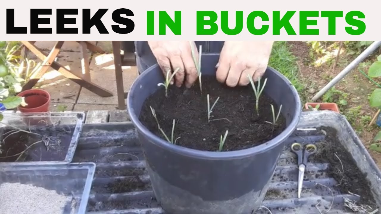 ✅ HOW to grow LEEKS in a Bucket.