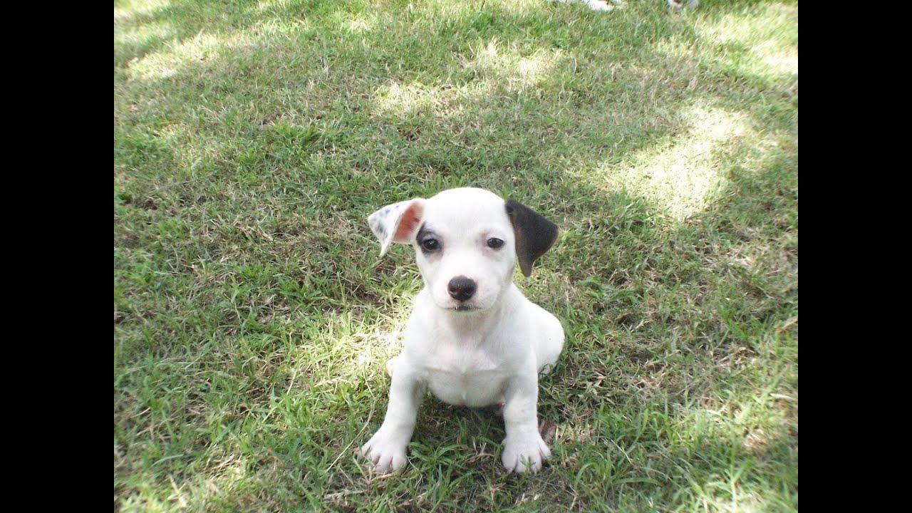 Jack Russell Puppies Virginia Beach