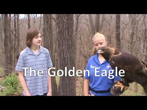 The Golden Eagle (World Bird Sanctuary)- Episode 112