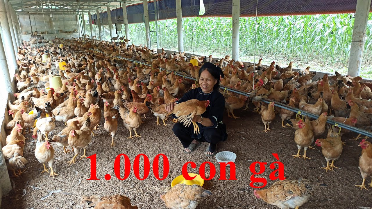 1.000 con gà, trang trại nuôi gà lớn nhất Quảng Hòa Cao Bằng.Trang trại gà Luri Farm ở Lũng Rì Tự Do