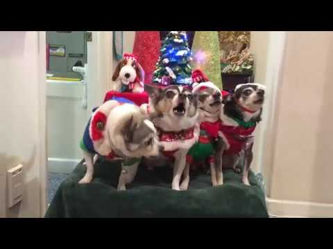 Christmas Chihuahua Carolers