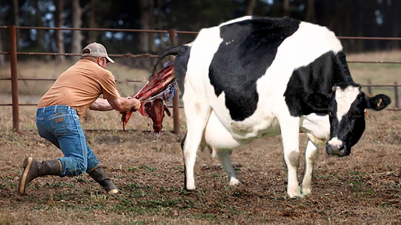 birth cow giving animals give help amazing