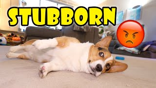 Proof Corgis Are Stubborn Dogs w/Short Legs || Life After College: Ep. 699