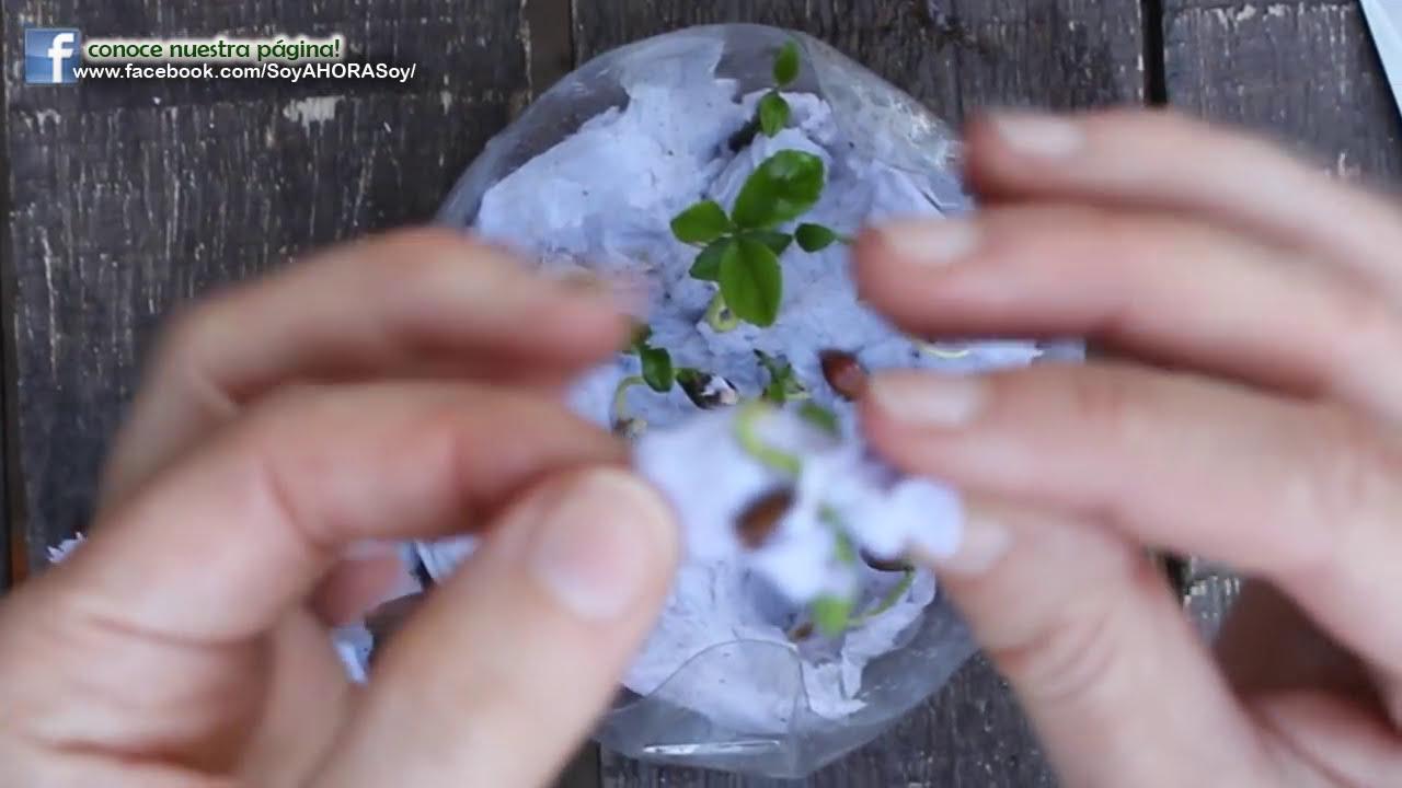 Como germinar el lim n semillas de lim n limonero limonero for Limonero sin limones