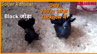 Lakkha kabutar For Sale Low Price, fancy Kabootar Sale || Soljer Kabutar Baji, lucknow ke kabutar
