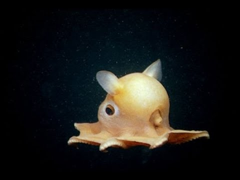 The Cutest Octopus