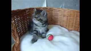 Котенок экзот 1,5 месяца Экзотики из питомника Crystal Sveta