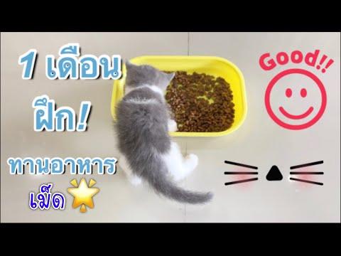 Scottish fold kitten | ลูกแมว1 เดือน ฝึกกินอาหารเม็ดเก่งมาก