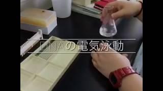 DNAの電気泳動