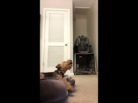 Singing Welsh Terrier Dog Buckley - Too Cute For TV
