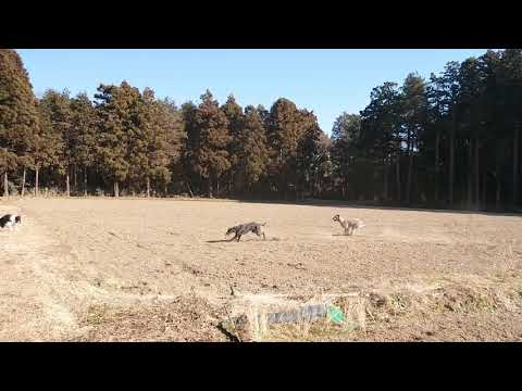 Irish wolfhound &Great Dane  Happy time