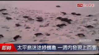 太平島迷途綠蠵龜 一週內發現上百隻