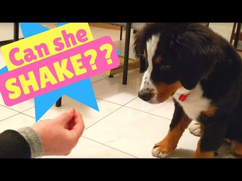 Can Willow the Bernese Mountain Dog puppy shake??