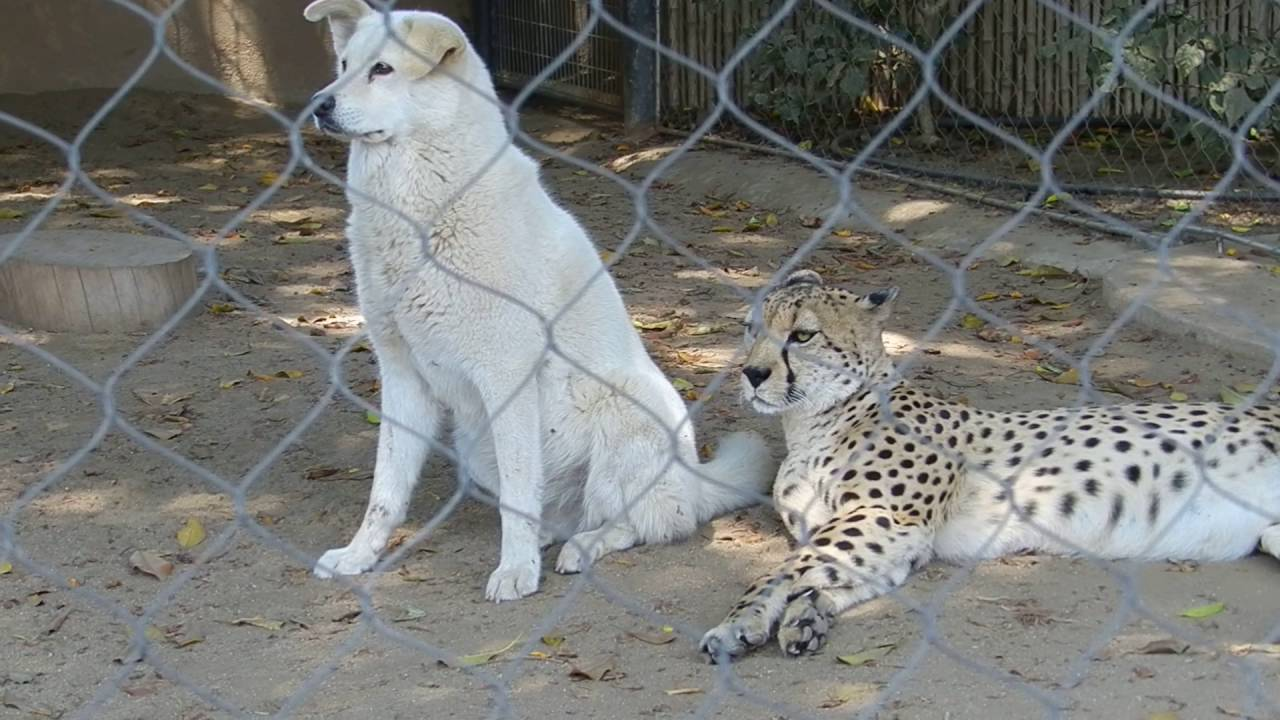 dog and cheetah together at san diego zoo youtube