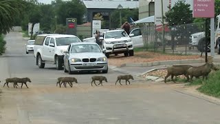 Warthog parents stop traffic while leading their babies across the road