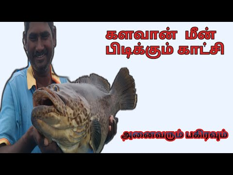 GOLIATH GROUPER FISH//LIVE BAITS