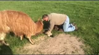 Baby Alpaca Rescue