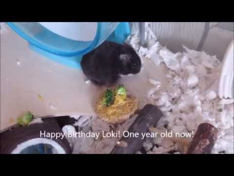 happy-birthday-loki,-our-special-lil-hamster