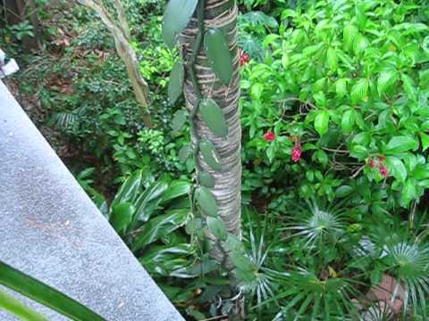 Vanilla planifolia, Vanilla Orchid Flowers