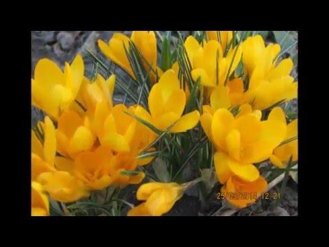 Прекрасный цветок крокус, радуга вашего сада