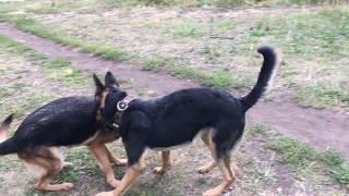 Бои собак. Немецкая овчарка против восточно европейской овчарки. Нападения собак, игры собак.