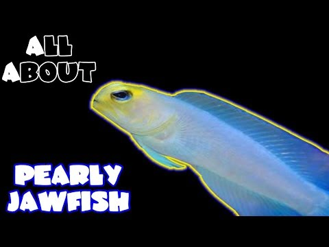 All About The Yellow Head Jawfish Or Pearly Jawfish