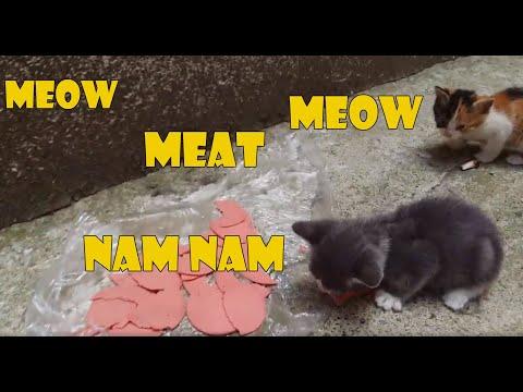 Five Baby Kittens Eating Meat   Kitten Videos   Cute Kittens (4)