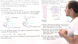 Glycosylation and Glycoproteins