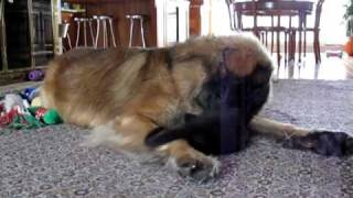 Leonberger vs Kitten