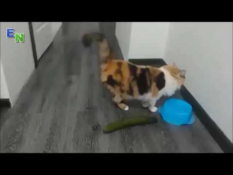 Screaming Cats   Funny